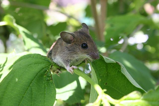Tikus-Tikus Takut Dengan 3 Tanaman Dan 2 Bumbu Dapur Ini