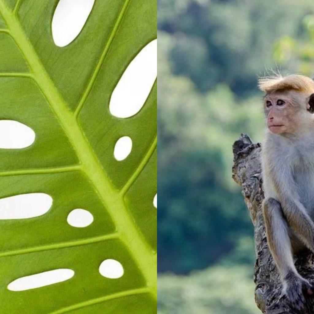 """Viral Ala Bisnis Monyet Pada Tanaman Hias """"Janda Bolong"""""""