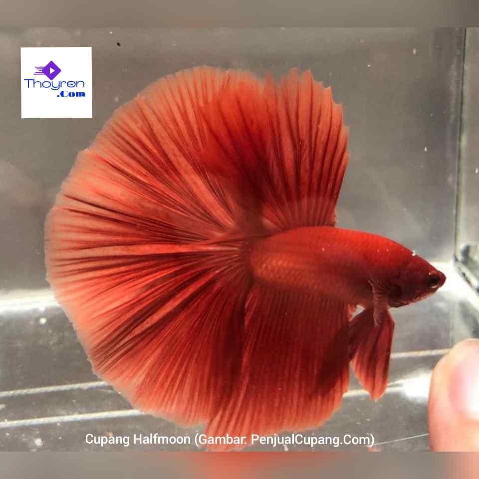 20 Motif Dan Warna Ikan Cupang Cantik Untuk Dinikmati Keindahannya