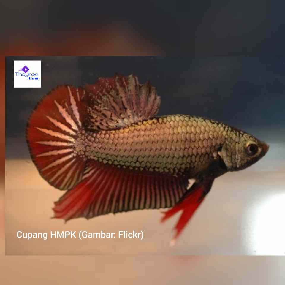 20 Motif Dan Warna Ikan Cupang Cantik Untuk Dinikmati Keindahannya Thoyron.Com