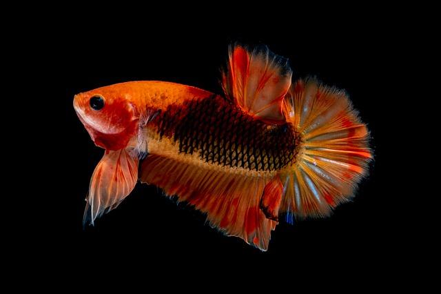 Motif Dan Warna Ikan Cupang Cantik